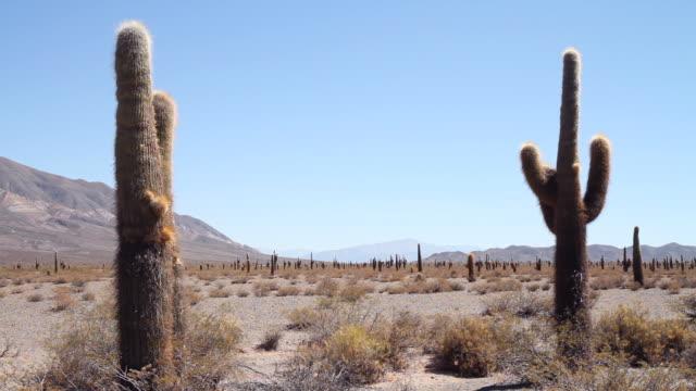 vídeos y material grabado en eventos de stock de cactus cardón - norte
