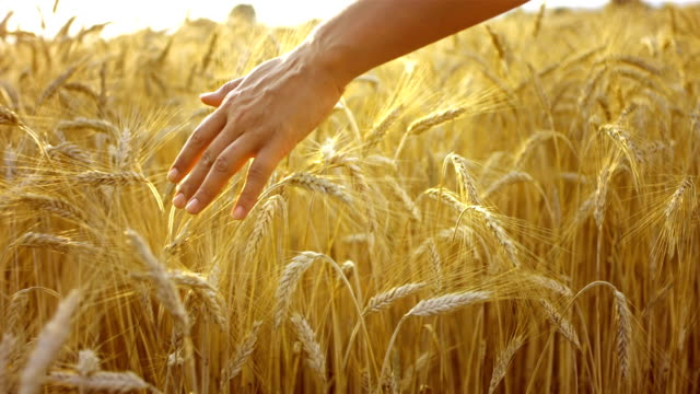 Caressing Wheat Crops video
