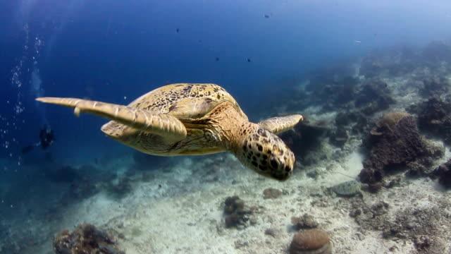vidéos et rushes de caretta, la piscine, la mer et le corail, vue sur l'océan - tortue