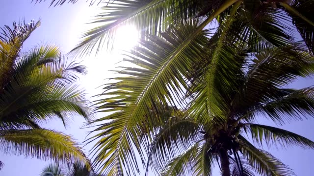 Caribbean beach with coconut palm trees, paradise holidays background, video 4k Akumal caribbean beach filmed with OSMO stabilised camera in 4k coconut palm tree stock videos & royalty-free footage