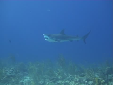 Caribbean Reef Shark video