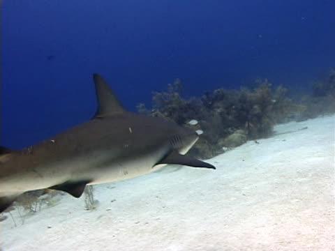 stockvideo's en b-roll-footage met caribbean reef shark2 - providenciales