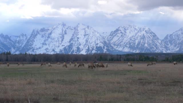 vídeos de stock e filmes b-roll de caribou grazing on grass in western united states - arquipélago
