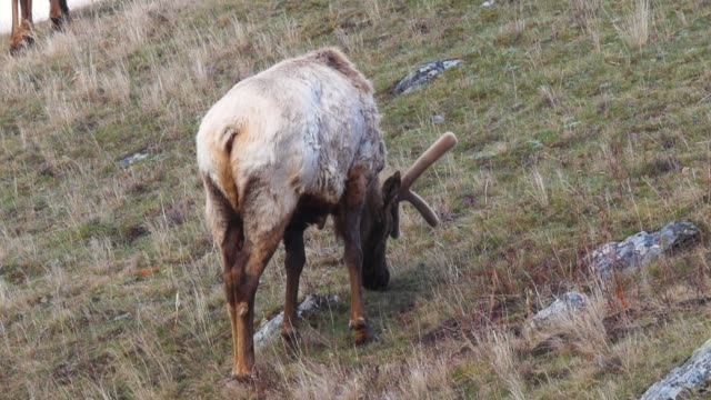 Caribou Grazing on Grass in Western United States