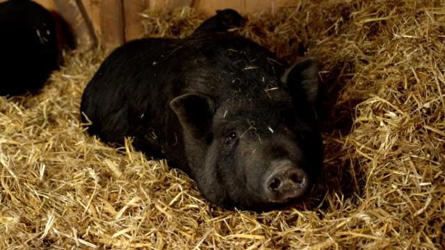クローズ アップ: 思いやりのある黒豚母干し草に敷設小さな子豚の世話 - 子豚点の映像素材/bロール