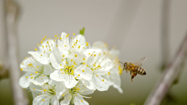 SLO MO Krainer Biene mit sichtbaren Pollen-Körbe auf Hinterbeinen nähert sich einer Kirschblüte – Video