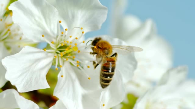 SLO MO LD Carniolan honey bee hanging on to the stamens of a white cherry blossom video