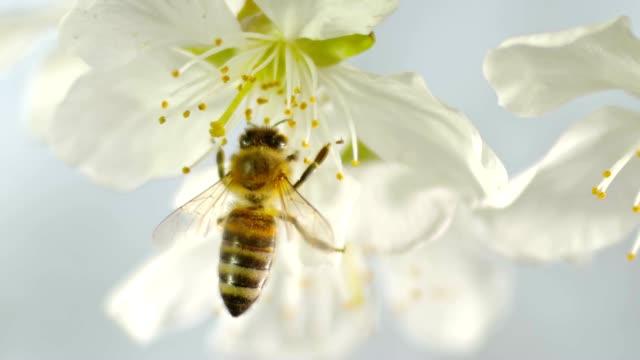 slo mo ld carniolan honungsbiet landning på de bräckliga ståndarna av en vit blomma i ett körsbärsträd - bi insekt bildbanksvideor och videomaterial från bakom kulisserna