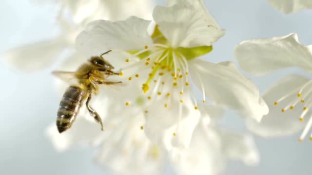 slo mo ld carniolan honey bee picking pollen on the stamens of a white cherry blossom - stame video stock e b–roll