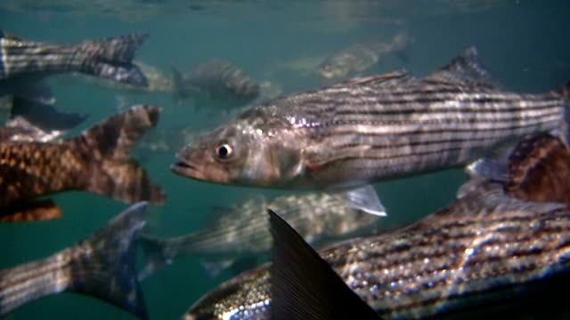 Carp and Striped Bass Carp and Bass feed in Lake Mead, Nevada freshwater stock videos & royalty-free footage