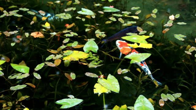 stockvideo's en b-roll-footage met carp op de prachtige groene vijver in het najaar van gifu, japan - vachtpatroon