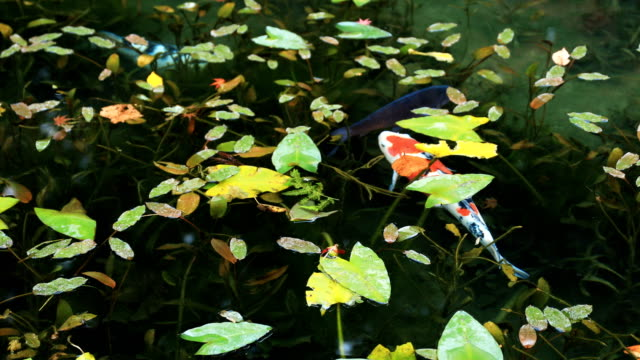 Carp at the beautiful green pond in Gifu Japan autumn Gifu / Japan - 11.29.2018 :  camera : Canon EOS 5D mark4 animal markings stock videos & royalty-free footage