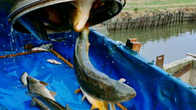 Carp - Classification of River Fish