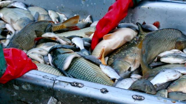 stockvideo's en b-roll-footage met karper - classificatie van riviervis - carp