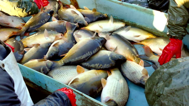 Carp Fish Classification-Commercial Fishing video