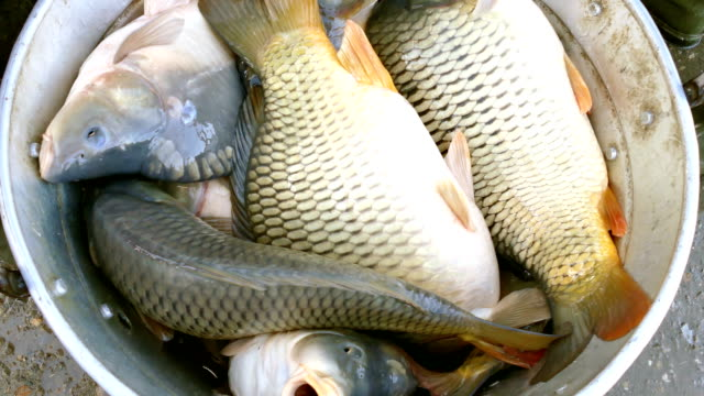 Carp Fish in a Bucket video
