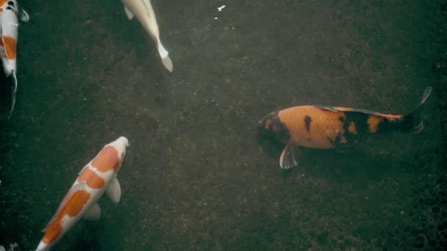 水中鯉魚錦鯉魚 - 池 個影片檔及 b 捲影像