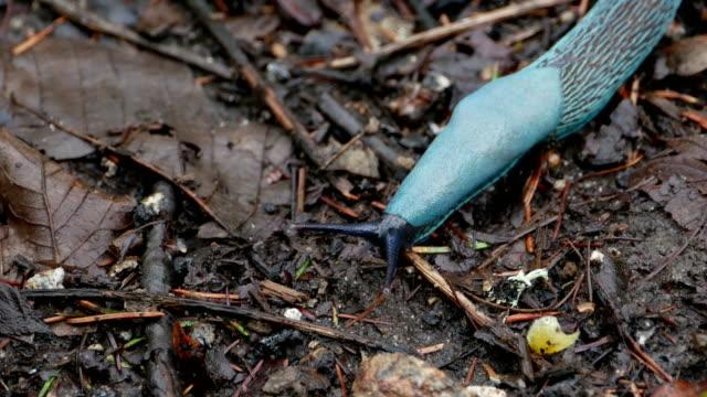 Carpathian Blue Slug (Bielzia coerulans) video