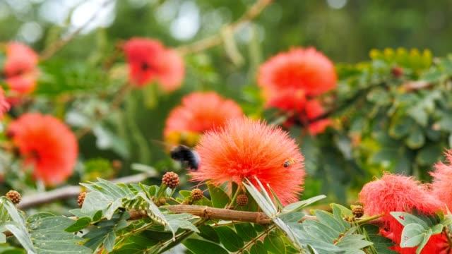 vídeos de stock e filmes b-roll de carpenter bee on red flowers - calliandra haematocephala