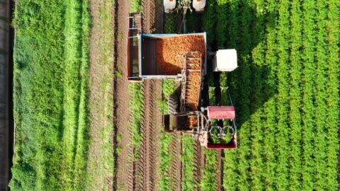 Carrot harvest in farm land. The harvester harvests carrots. Carrot field Carrot harvesting using mechanized harvesting equipment and truck to transport the carrots to a processing plant. Carrot field. harvesting stock videos & royalty-free footage