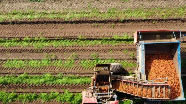 Carrot harvest in farm land. The harvester harvests carrots. Carrot field Carrot harvesting using mechanized harvesting equipment and truck to transport the carrots to a processing plant. Carrot field. carrot stock videos & royalty-free footage