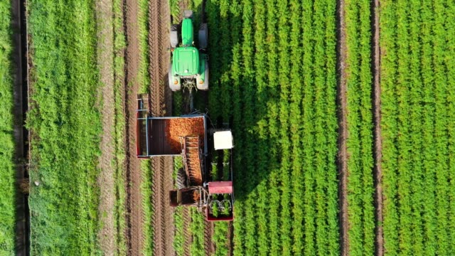 vídeos de stock e filmes b-roll de carrot harvest in farm land - colher atividade agrícola