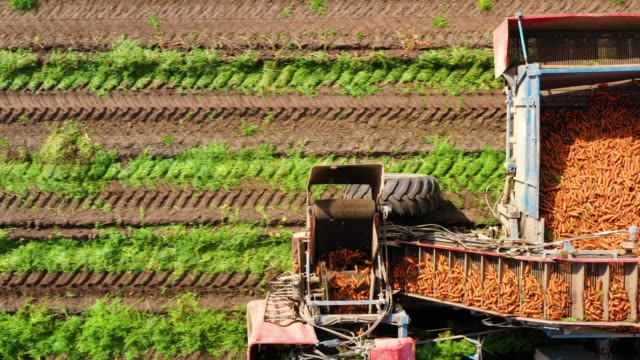 Carrot harvest in farm land Farmer harvesting carrots using a carrot harvester. Aerial view of Harvest carrots in agricultural land. crop plant stock videos & royalty-free footage