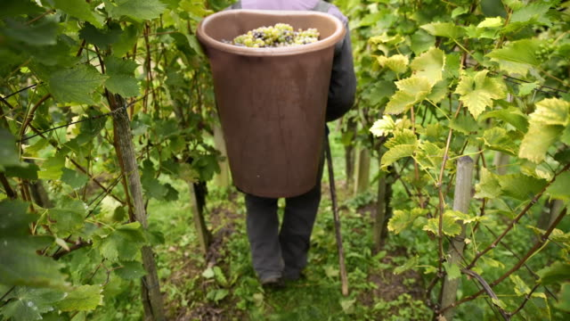 Carrying a bucket full of grapes video