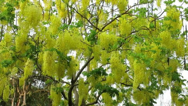Cassia fistula (Golden shower tree). National flower of Thailand video