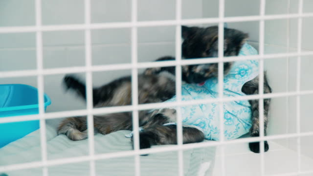 Cat after sterilization is in the cage licks the side. Veterinary video
