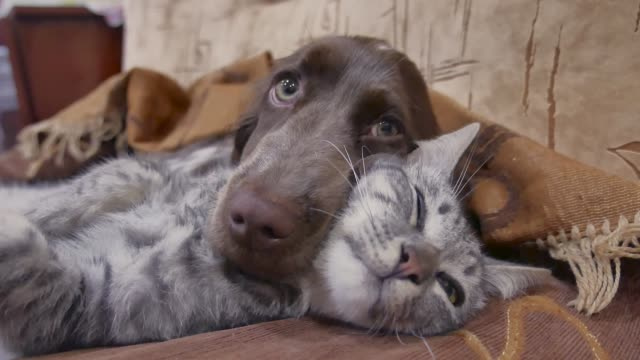 vídeos de stock e filmes b-roll de cat and a dog are sleeping together funny video. cat and dog friendship indoors - pets