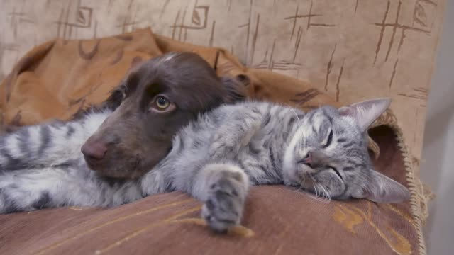 cat and a dog are sleeping together funny video. indoors friendship cat and dog - vídeo