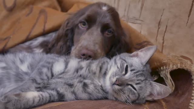 cat and a dog are sleeping together indoors friendship funny video. cat and dog - vídeo