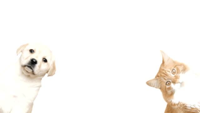 vídeos y material grabado en eventos de stock de gato y perro vistazo sobre un fondo blanco - gato doméstico