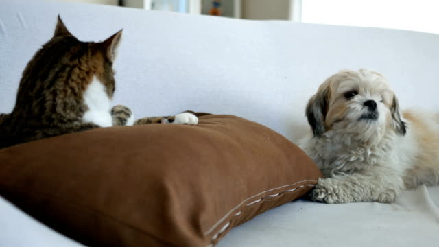 Cat and dog stay together on sofa video