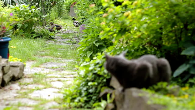 Cat and ducks in a garden video