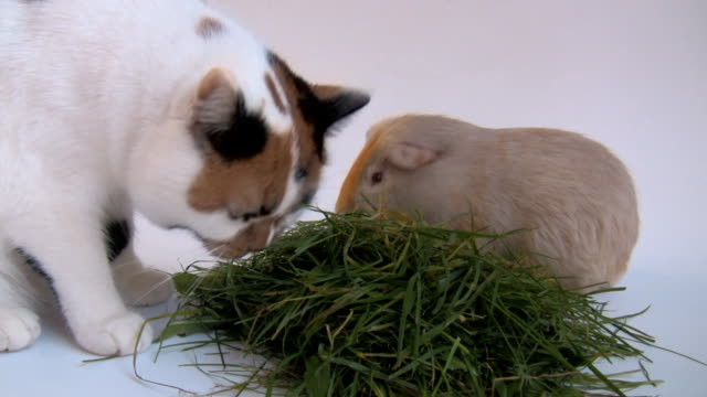 Cat and guinea pig together eating grass