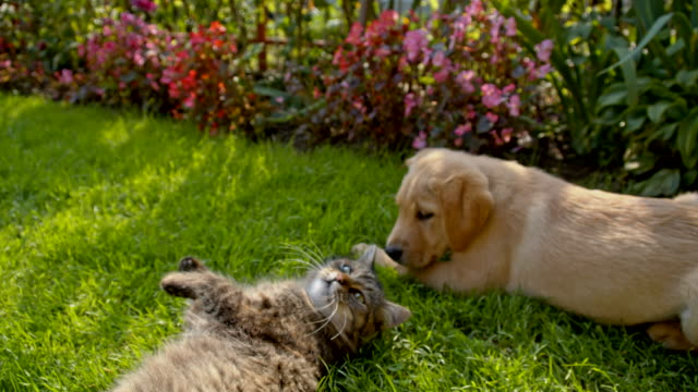 MS LA Cat And Puppy Lying Together HD1080p: MEDIUM LOW ANGLE shot of a cat and a cute puppy lying on the grass in the backyard. The footage was shot in raw. Also available in 4K resolution. kitten stock videos & royalty-free footage