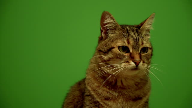 Cat. Cat looking to the sides against the background of a green background video