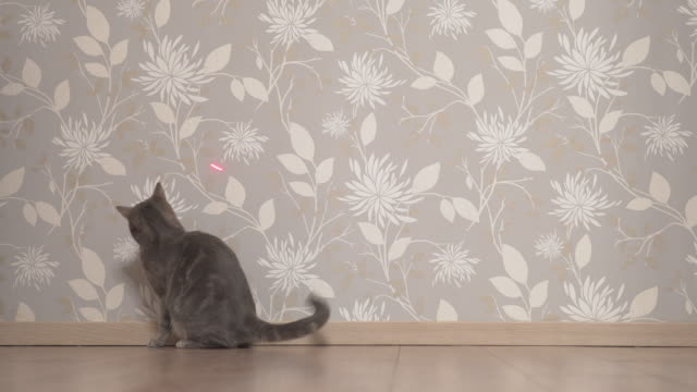 Cat chasing and trying to catch laser pointer on the wall Cat chasing laser pointer on the wall laser stock videos & royalty-free footage
