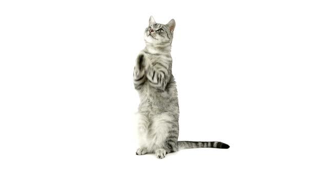 vídeos y material grabado en eventos de stock de cat aplaudir paws, pidiendo un refrigerio. - gato doméstico