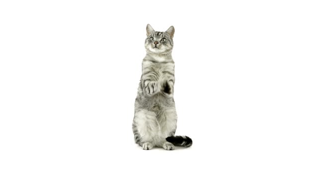 Cat clapping paws, asking for food, looks away disappointed Tabby grey cat clapping paws, asking for food, looks away disappointed. paw stock videos & royalty-free footage