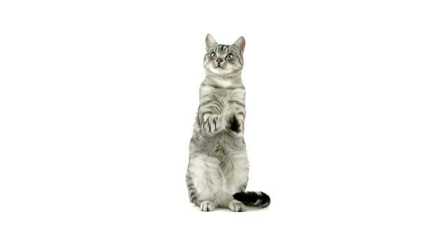 kot klaskać łapy, prosząc o jedzenie, wygląda się rozczarowany - łapa filmów i materiałów b-roll