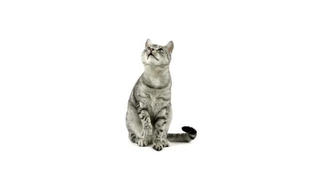 Katze Klatschen Pfoten, bitten Sie um Speisen – Video
