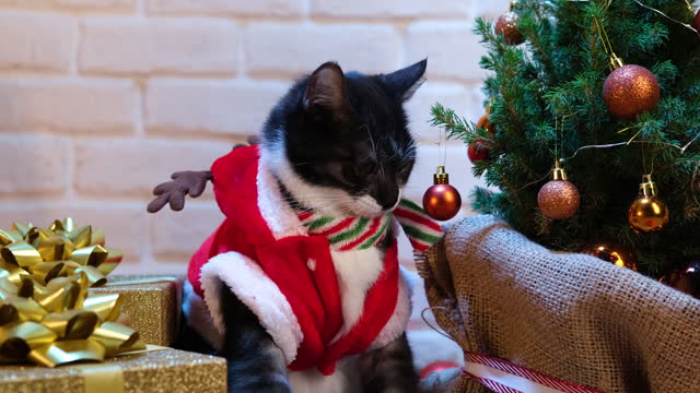 Cat dressed in a Christmas outfit playing with Christmas bauble on the tree.