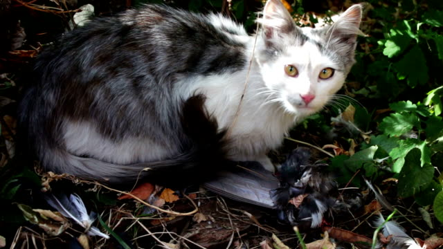 Cat eats a pigeon in the grass video