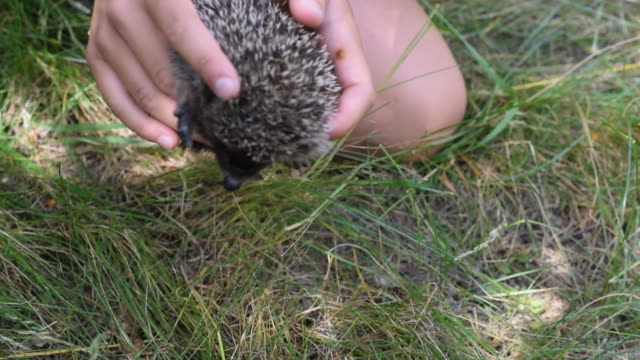 cat explores a hedgehog held in human hands - rotolo video stock e b–roll