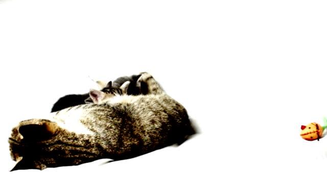 кошка семьи - кошка смешанной породы стоковые видео и кадры b-roll