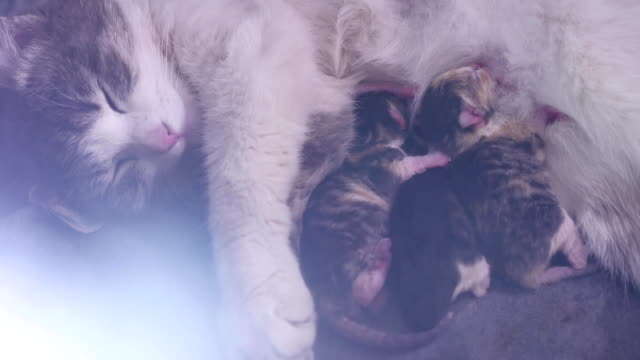 cat feeds newborn kittens. the cat gives birth parturition to kittens. kitten playing sleeps. indoors suck tit blind lovely kittens concept - vídeo