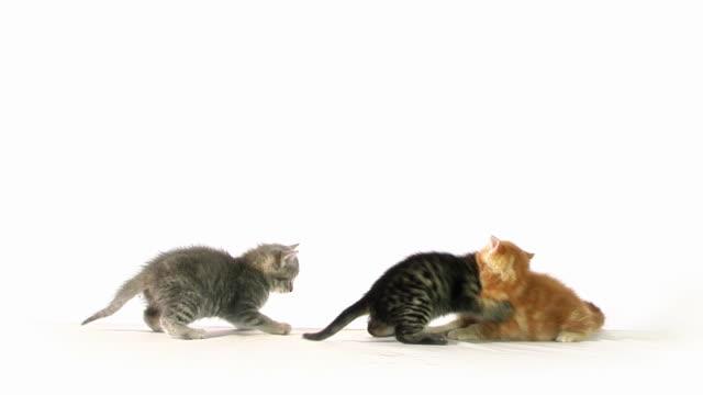 stockvideo's en b-roll-footage met cat fight - kitten